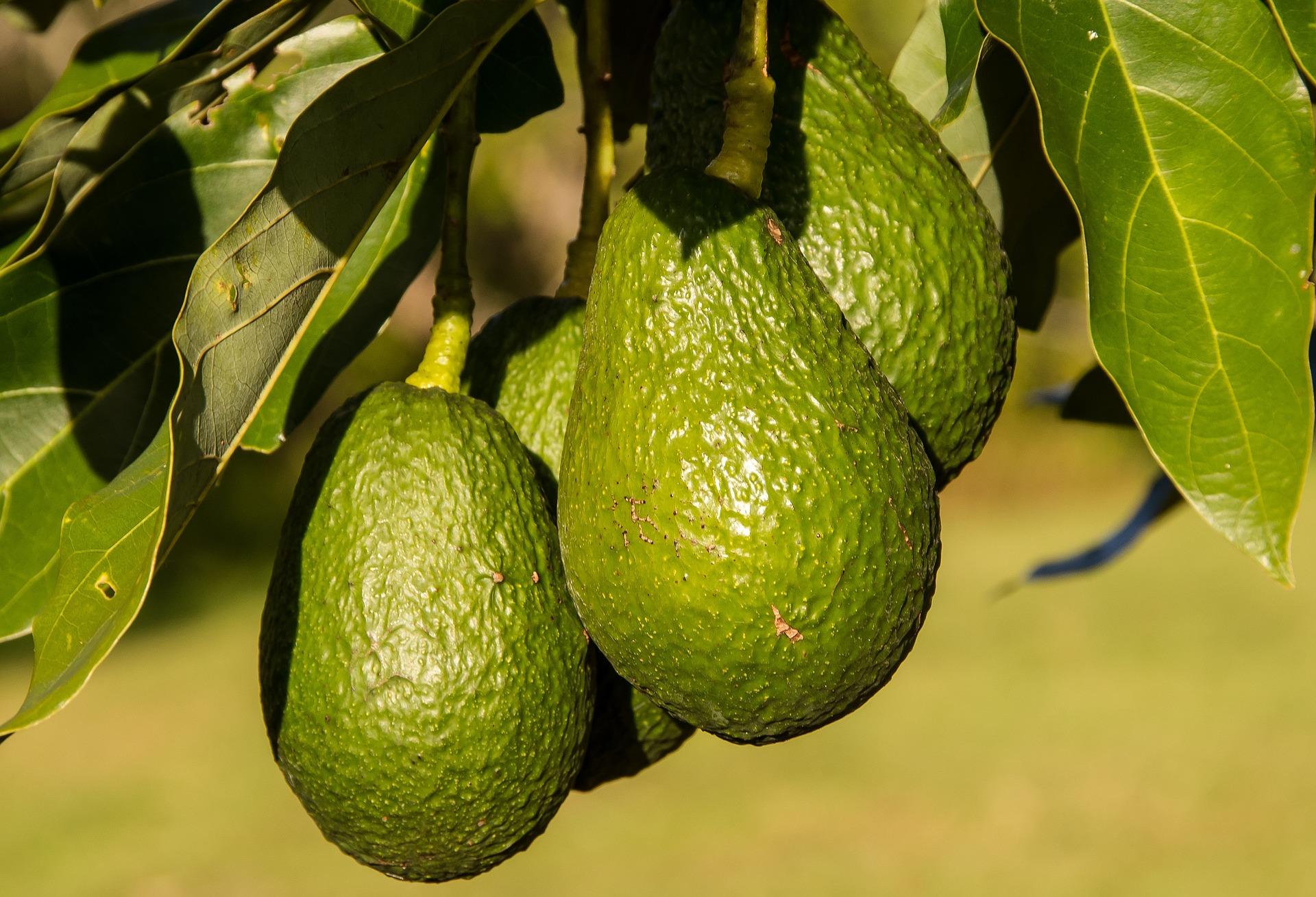 Pixabay – Avocado Agriculture