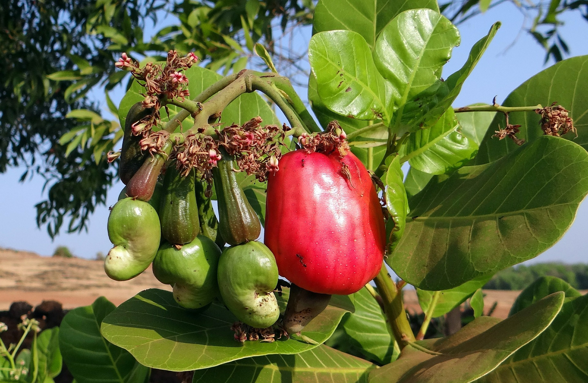 Pixabay – Cashew Nut