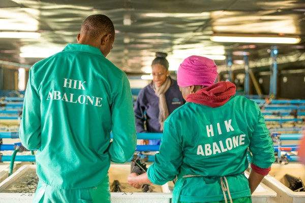 HIK Abalone – Workers-in-weaning-